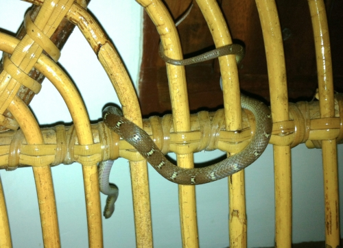 Common Krait